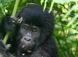 mountain-gorilla-for-zambia-rwanda-itin-small