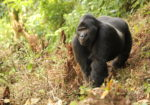 Gorillas, Chimps & Shoebill Storks of Uganda with Dr. Mark Brazil